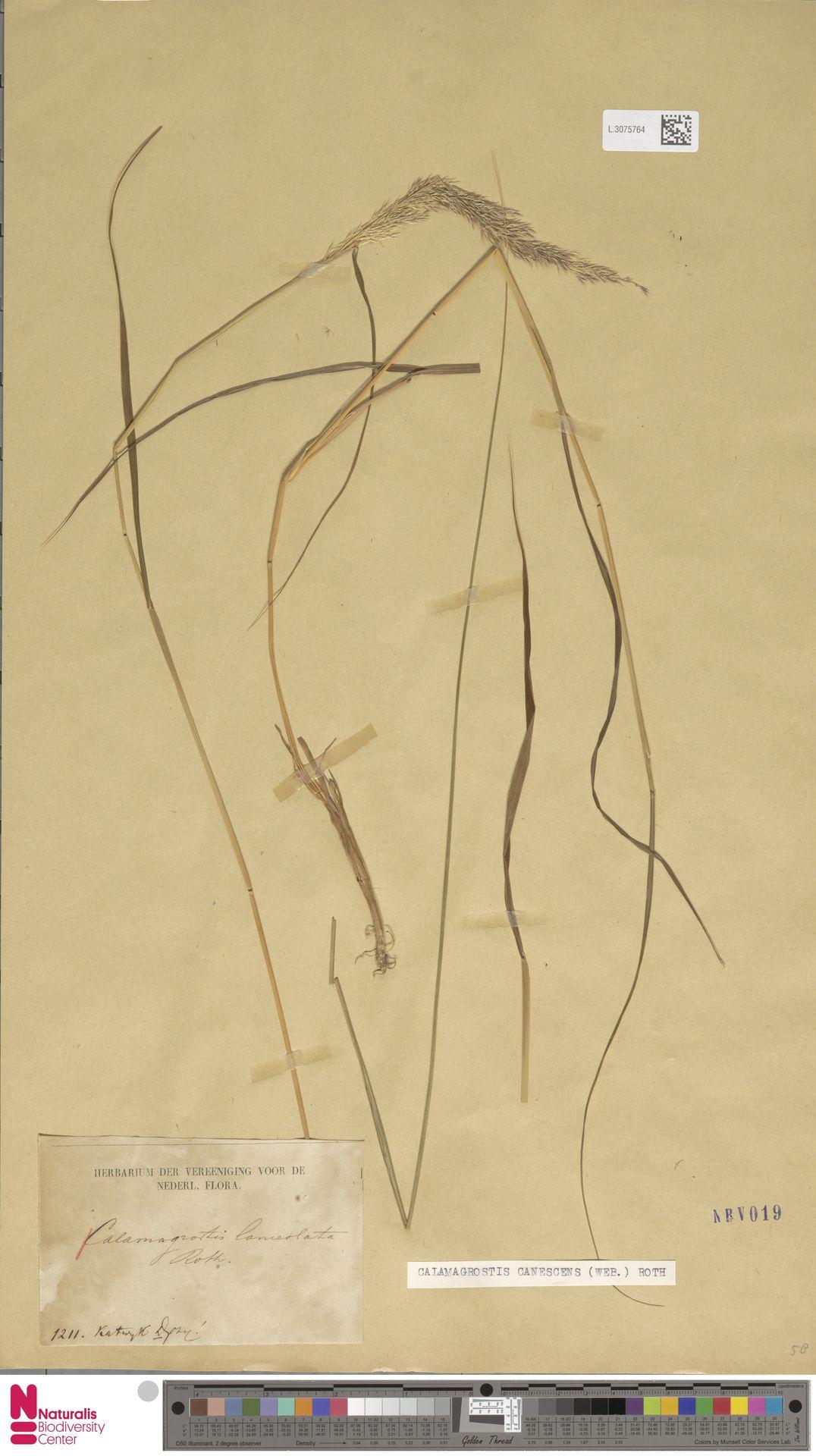 L.3075764 | Calamagrostis canescens (Weber) Roth