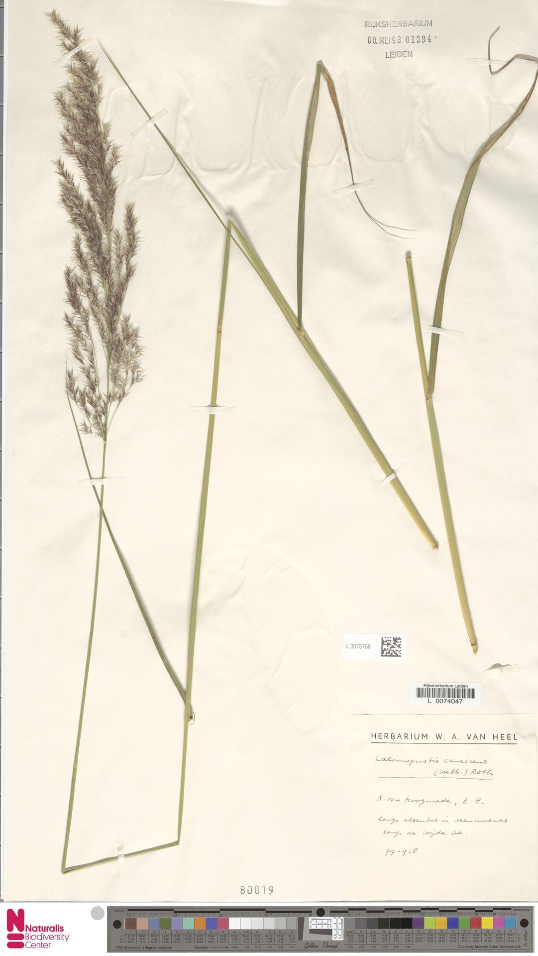 L.3075768 | Calamagrostis canescens (Weber) Roth