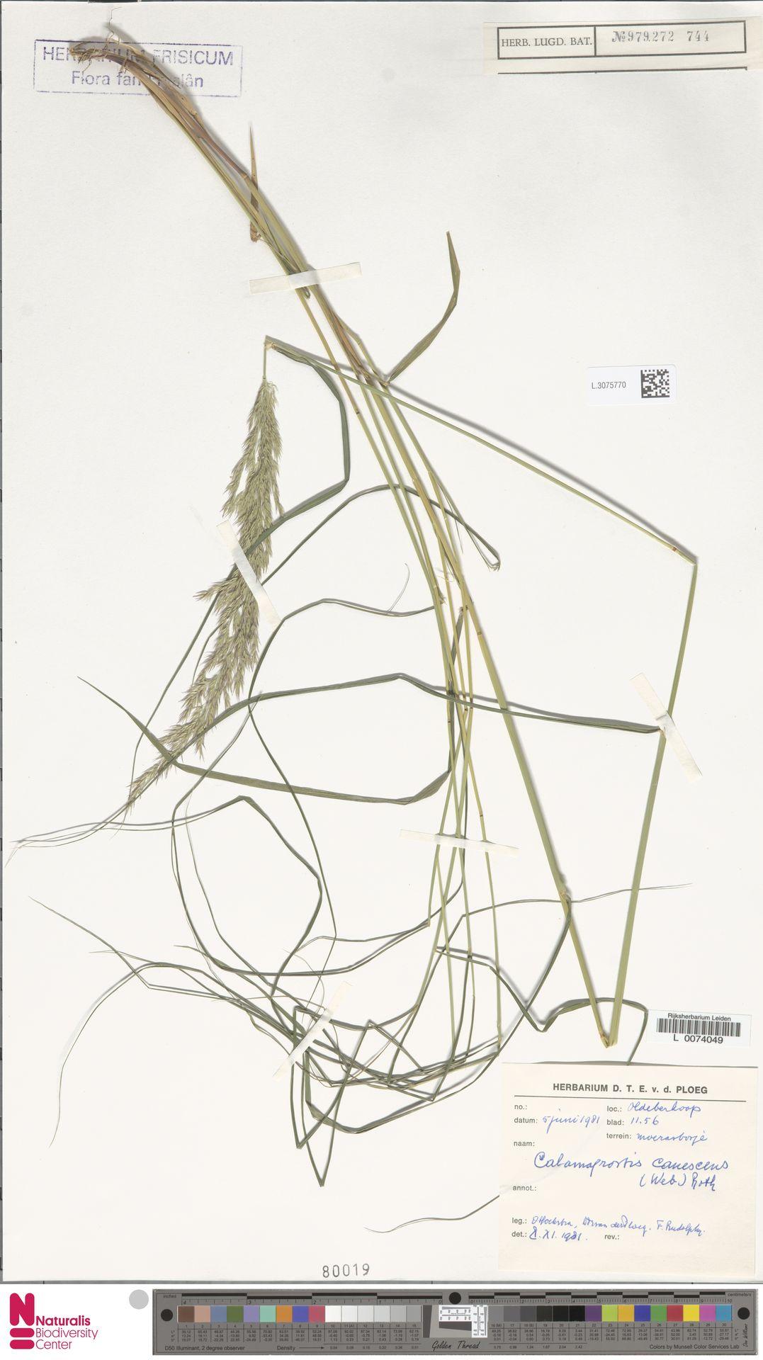 L.3075770 | Calamagrostis canescens (Weber) Roth