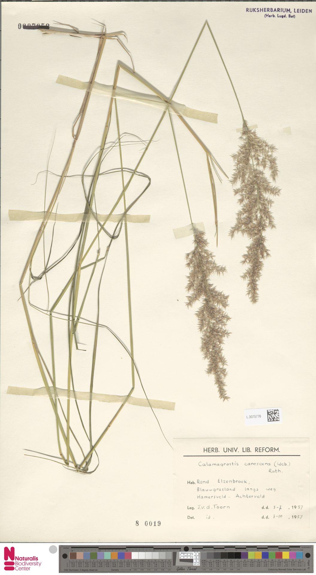 L.3075776 | Calamagrostis canescens (Weber) Roth