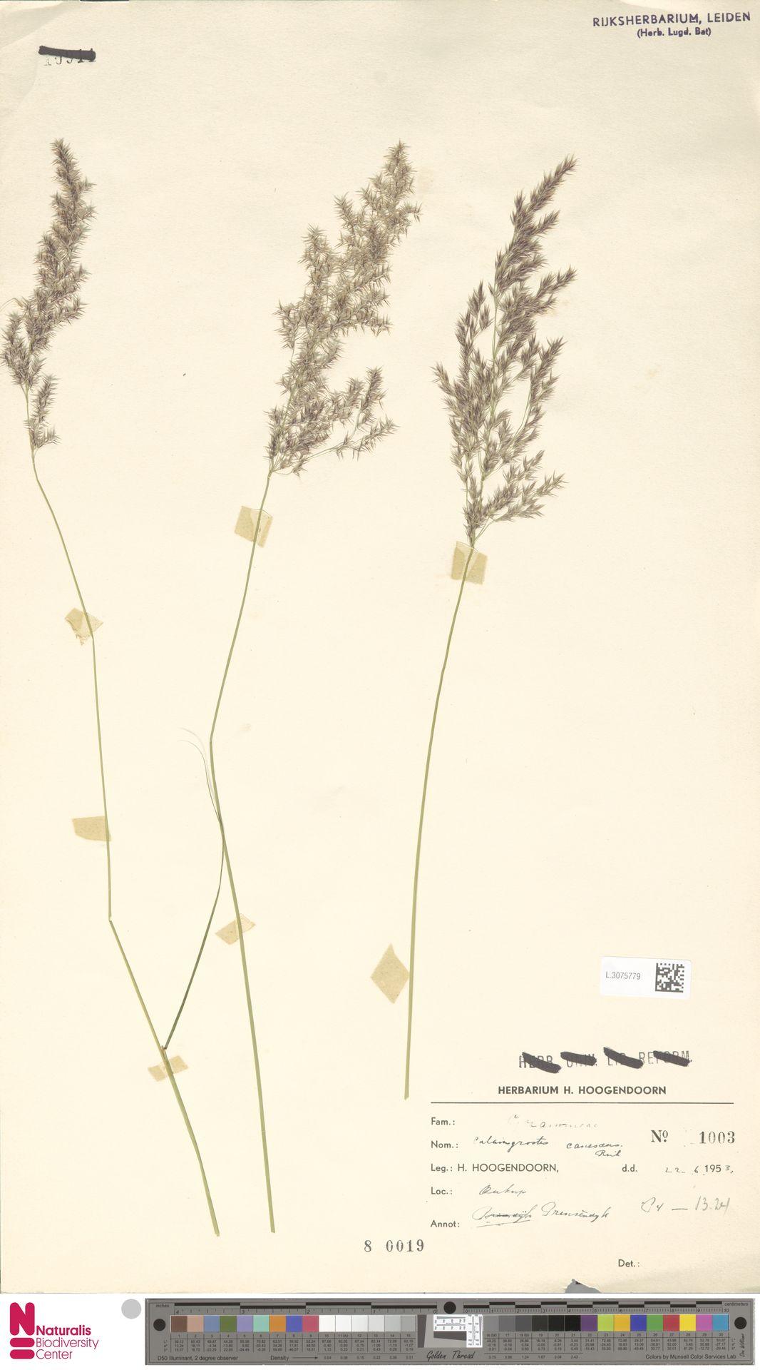 L.3075779 | Calamagrostis canescens (Weber) Roth