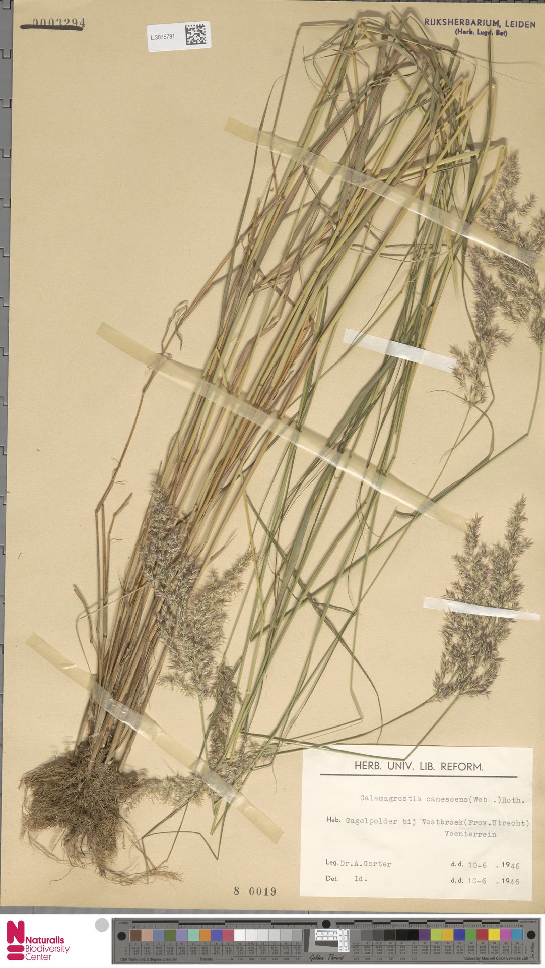 L.3075791   Calamagrostis canescens (Weber) Roth
