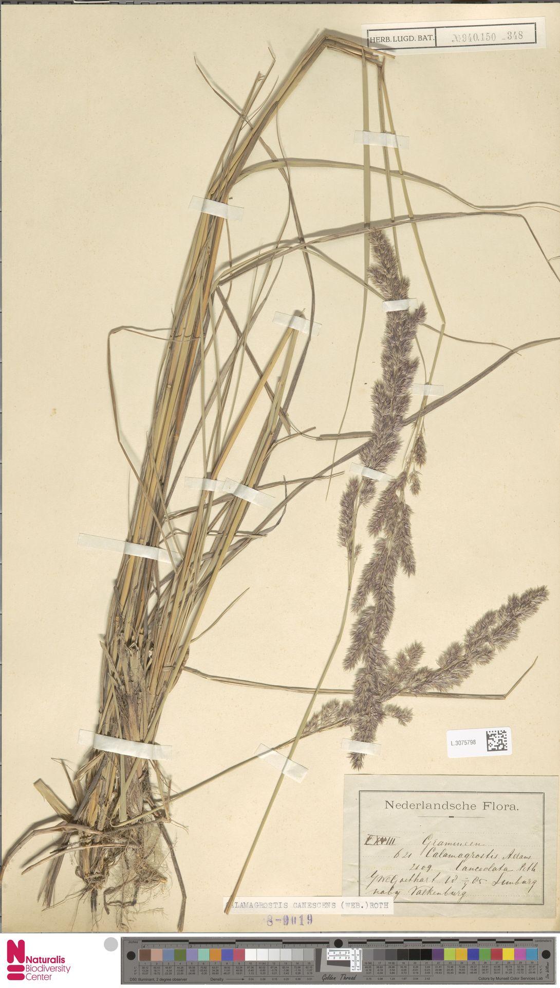 L.3075798 | Calamagrostis canescens (Weber) Roth