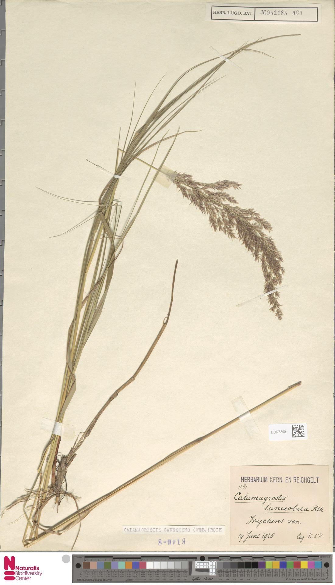 L.3075800 | Calamagrostis canescens (Weber) Roth