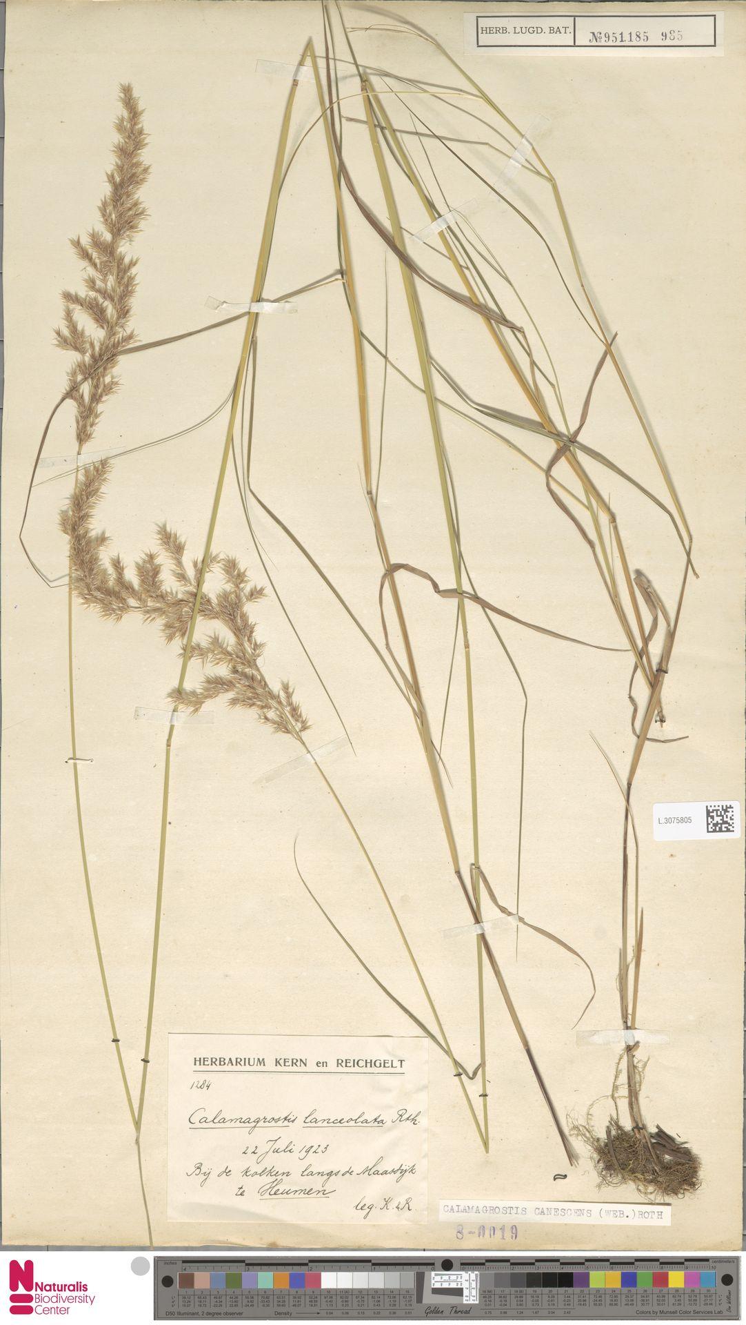 L.3075805 | Calamagrostis canescens (Weber) Roth