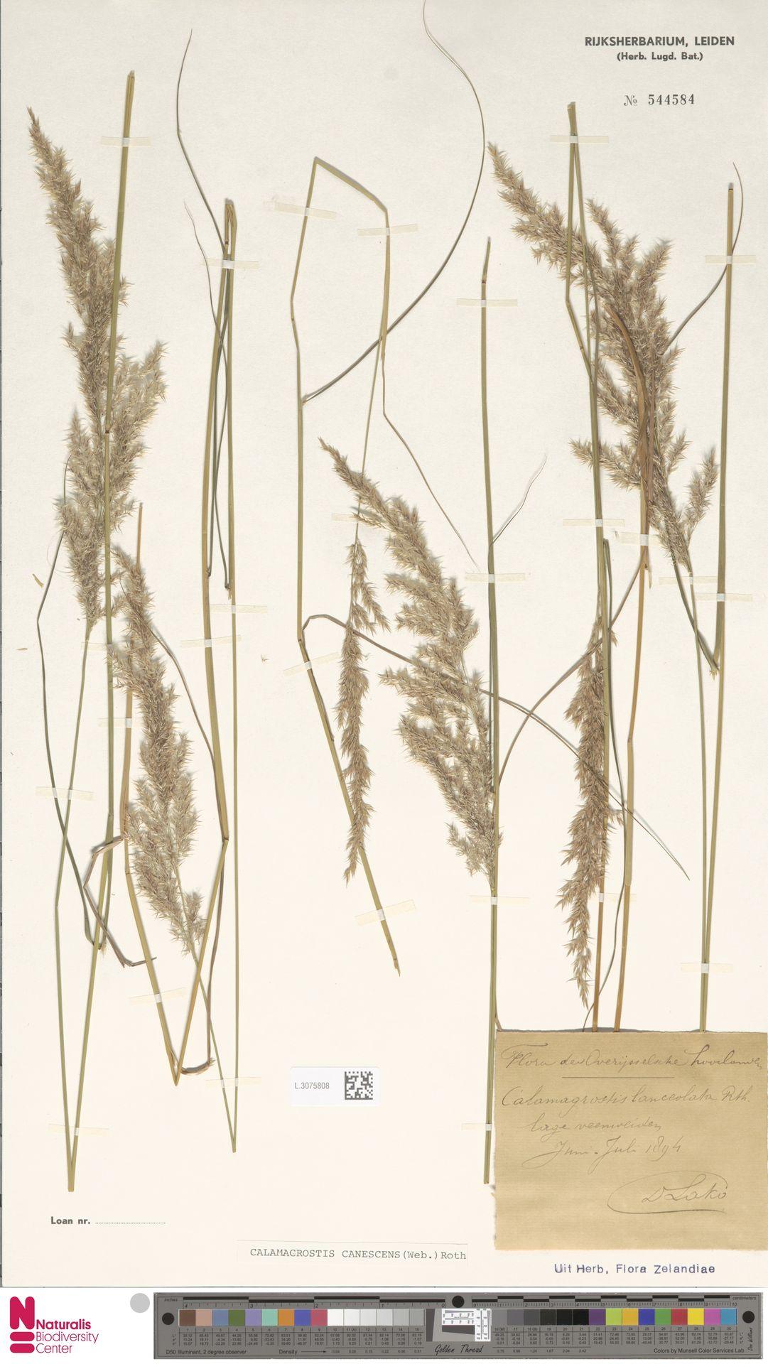 L.3075808 | Calamagrostis canescens (Weber) Roth