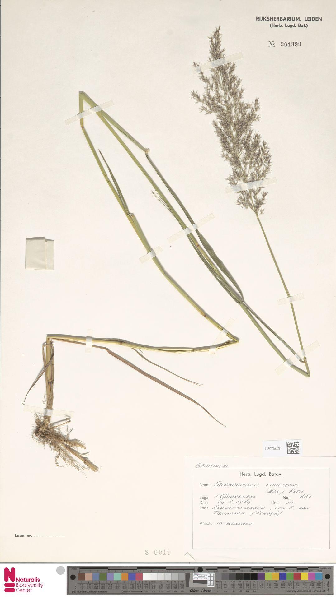 L.3075809 | Calamagrostis canescens (Weber) Roth