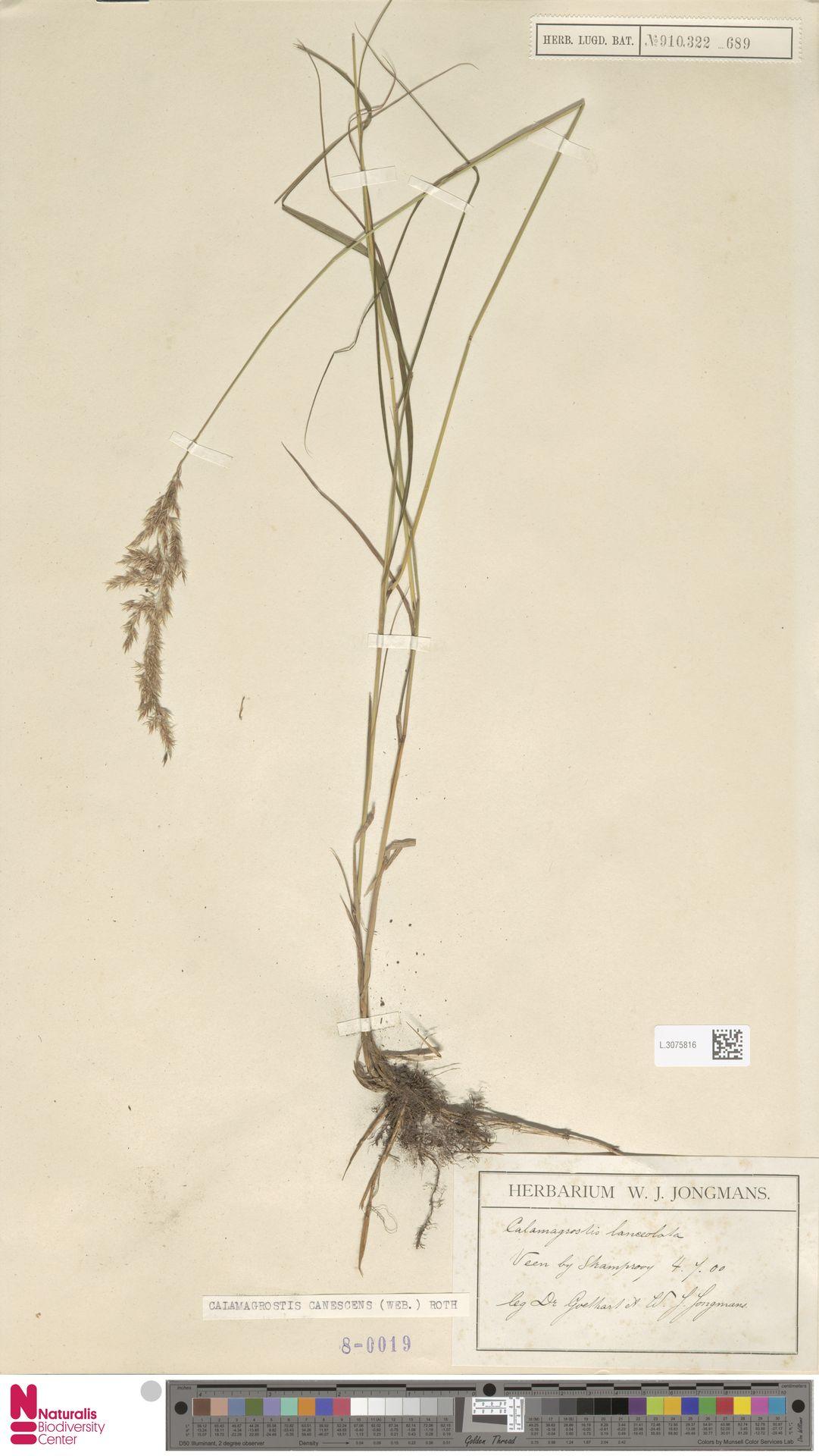 L.3075816 | Calamagrostis canescens (Weber) Roth
