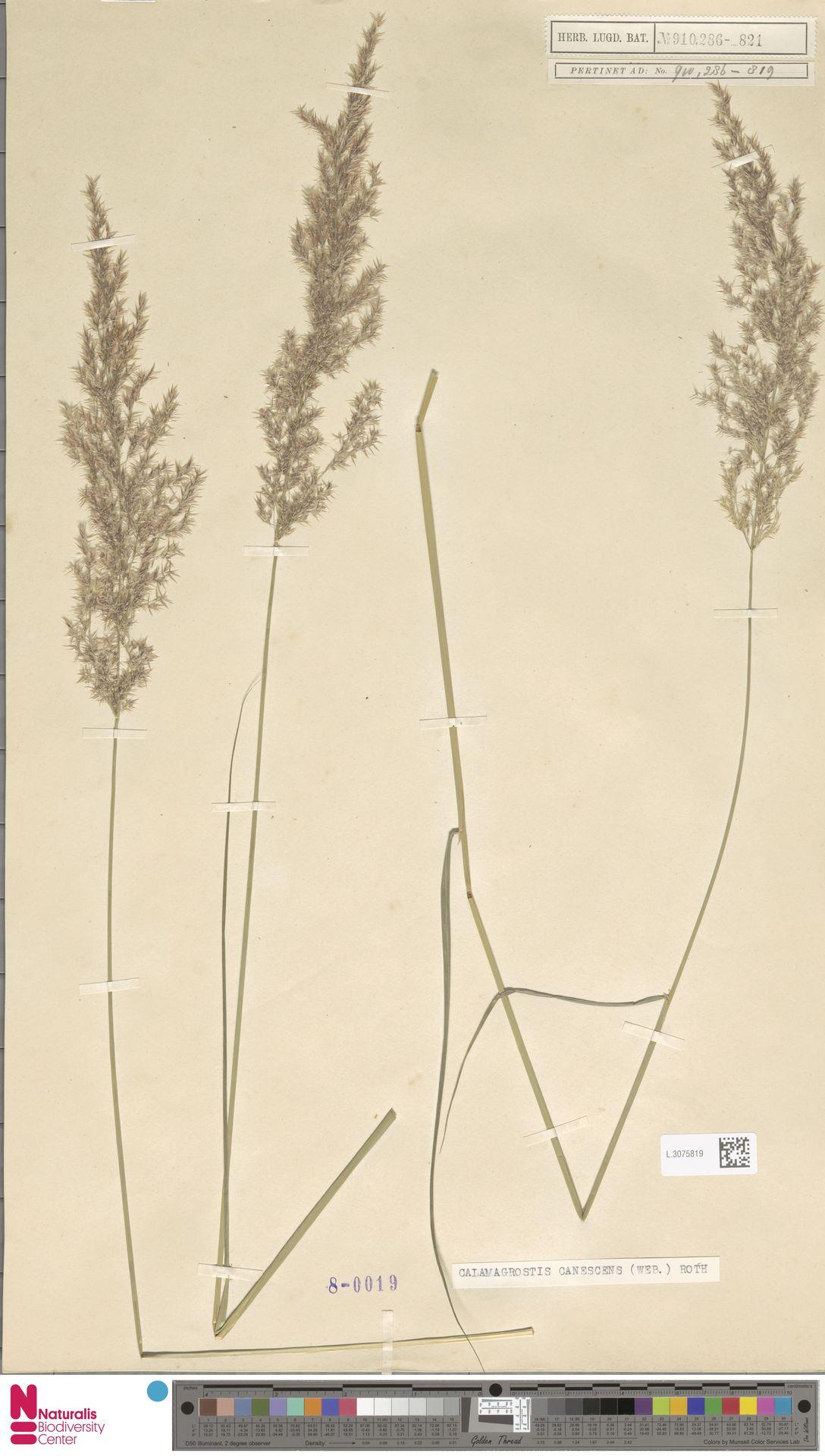 L.3075819 | Calamagrostis canescens (Weber) Roth
