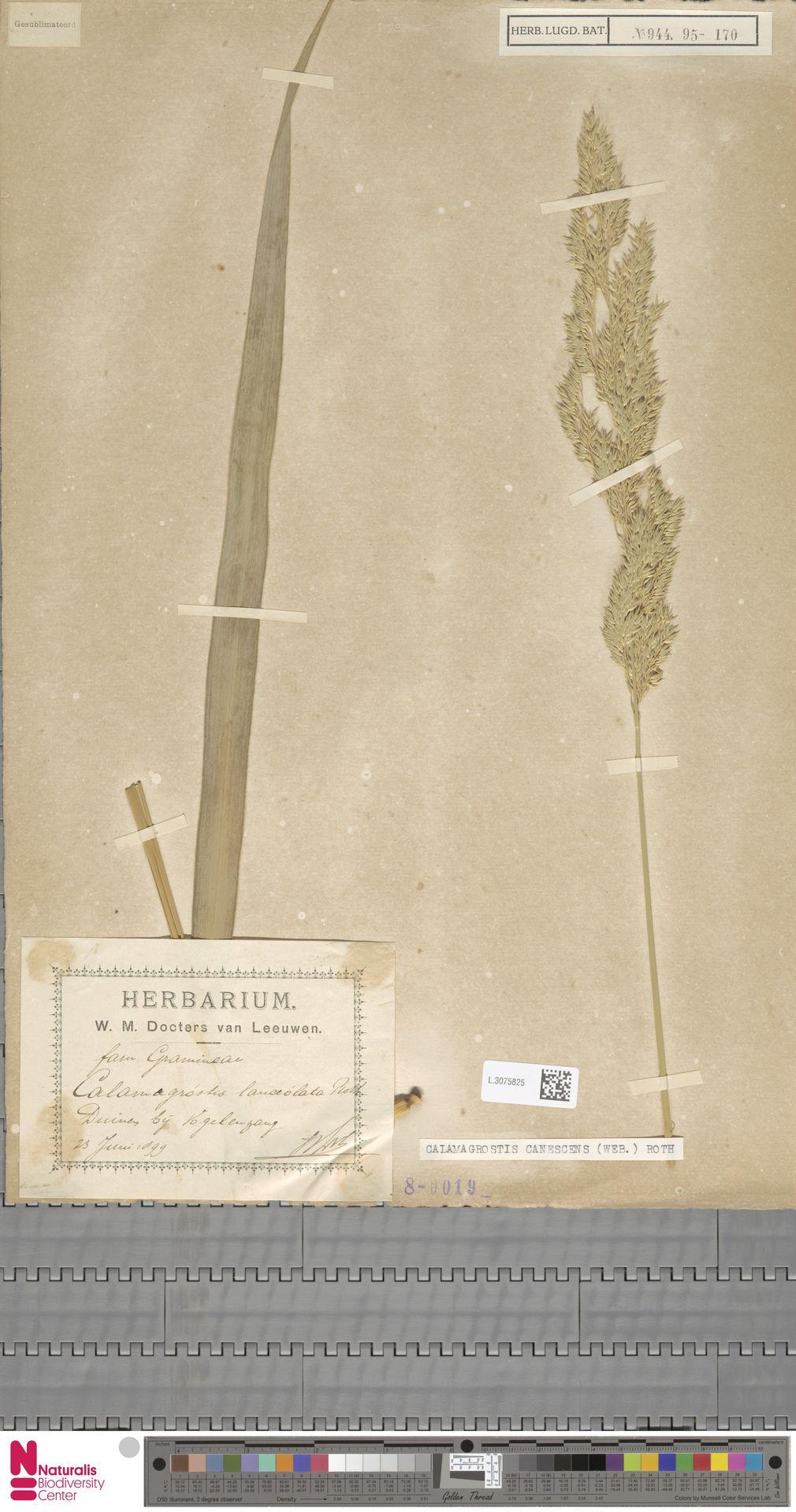 L.3075825   Calamagrostis canescens (Weber) Roth