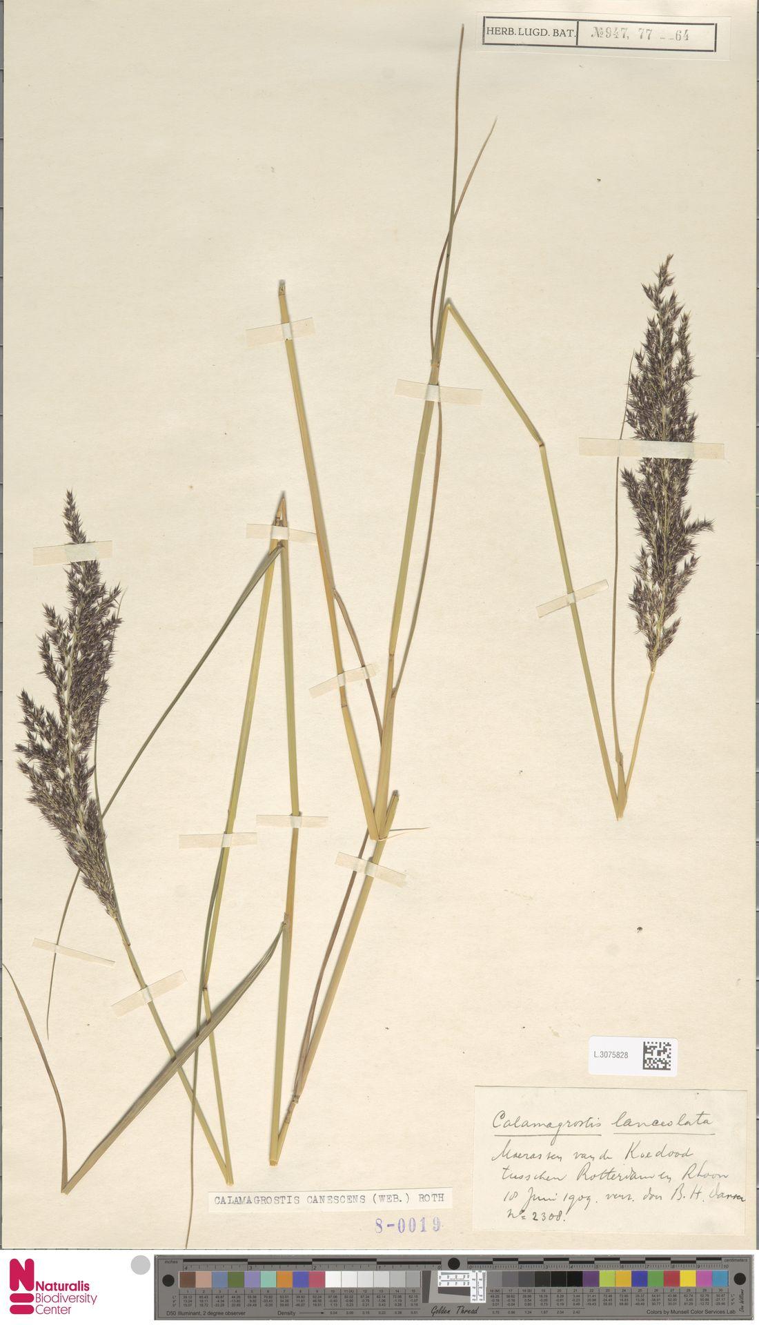 L.3075828 | Calamagrostis canescens (Weber) Roth