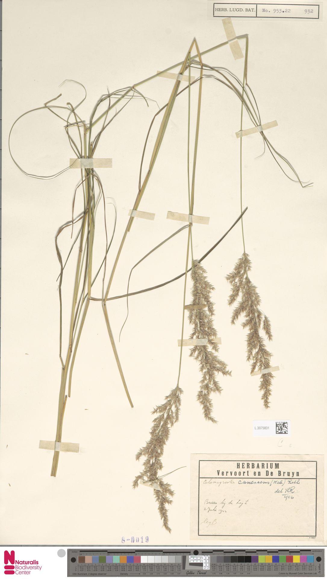 L.3075831   Calamagrostis canescens (Weber) Roth