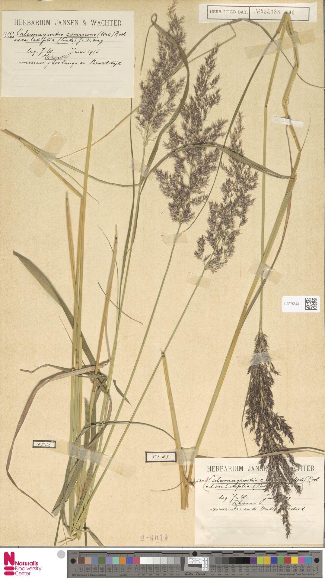 L.3075843 | Calamagrostis canescens (Weber) Roth