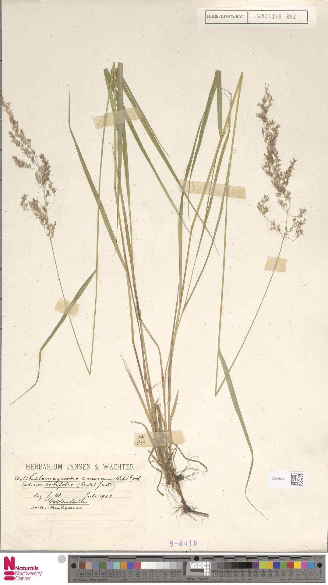 L.3075844 | Calamagrostis canescens (Weber) Roth