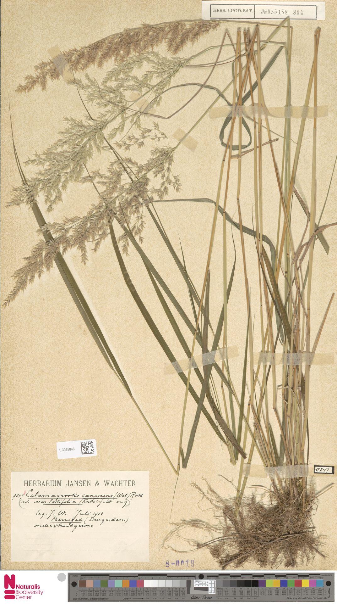 L.3075846 | Calamagrostis canescens (Weber) Roth