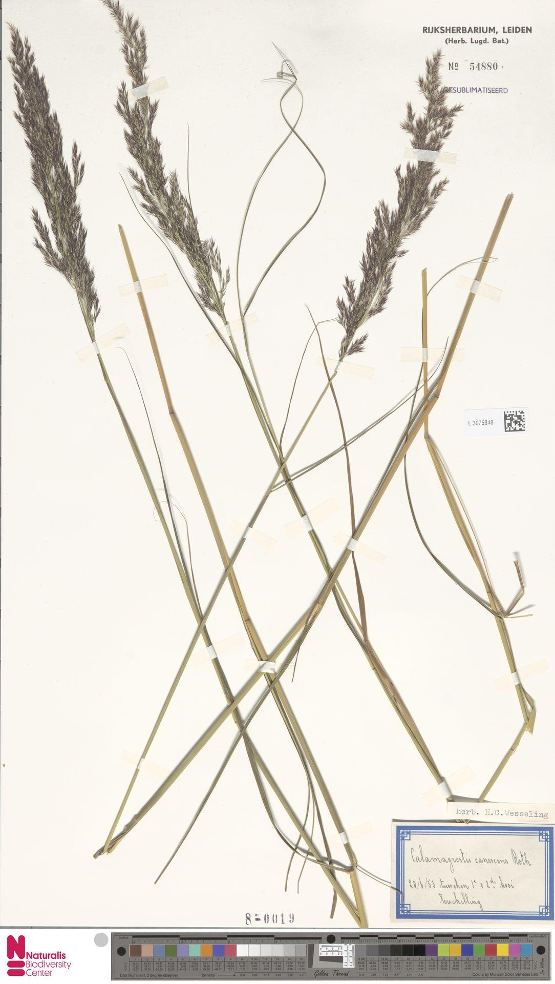 L.3075848 | Calamagrostis canescens (Weber) Roth