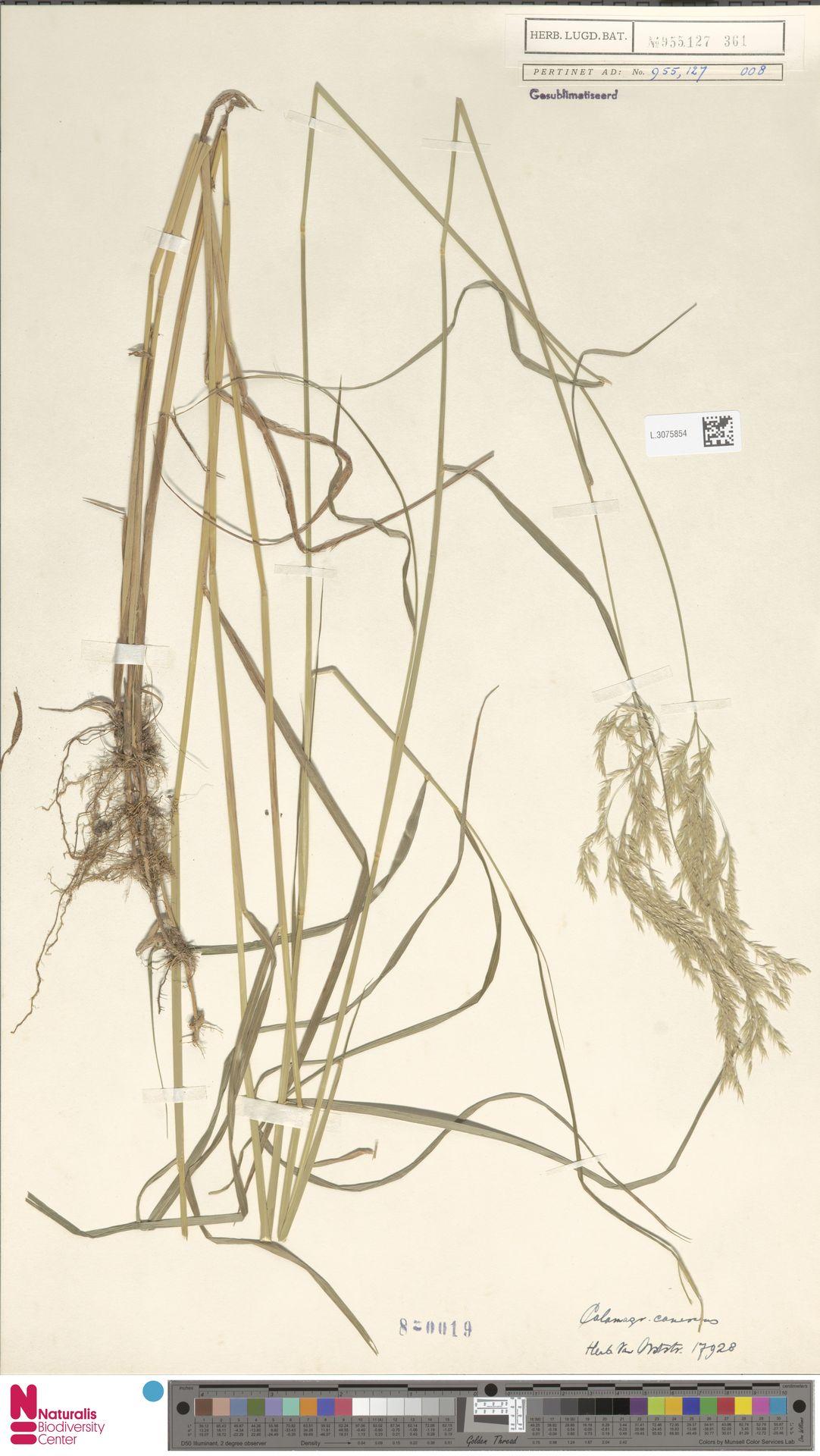 L.3075854 | Calamagrostis canescens (Weber) Roth