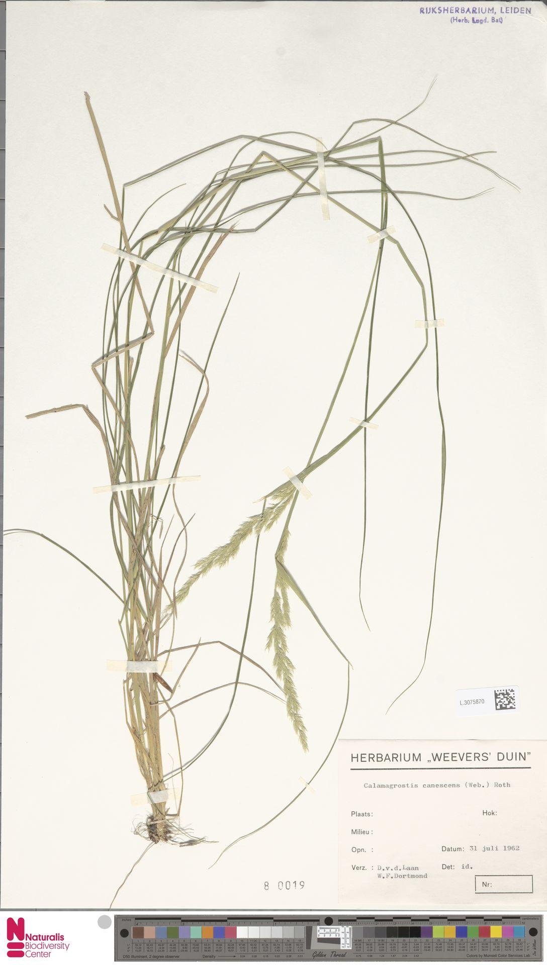 L.3075870 | Calamagrostis canescens (Weber) Roth
