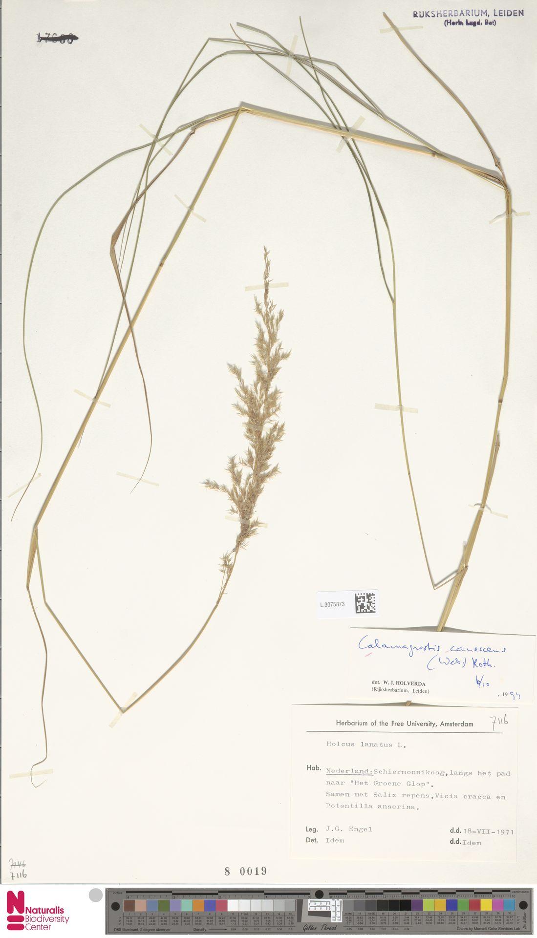 L.3075873 | Calamagrostis canescens (Weber) Roth