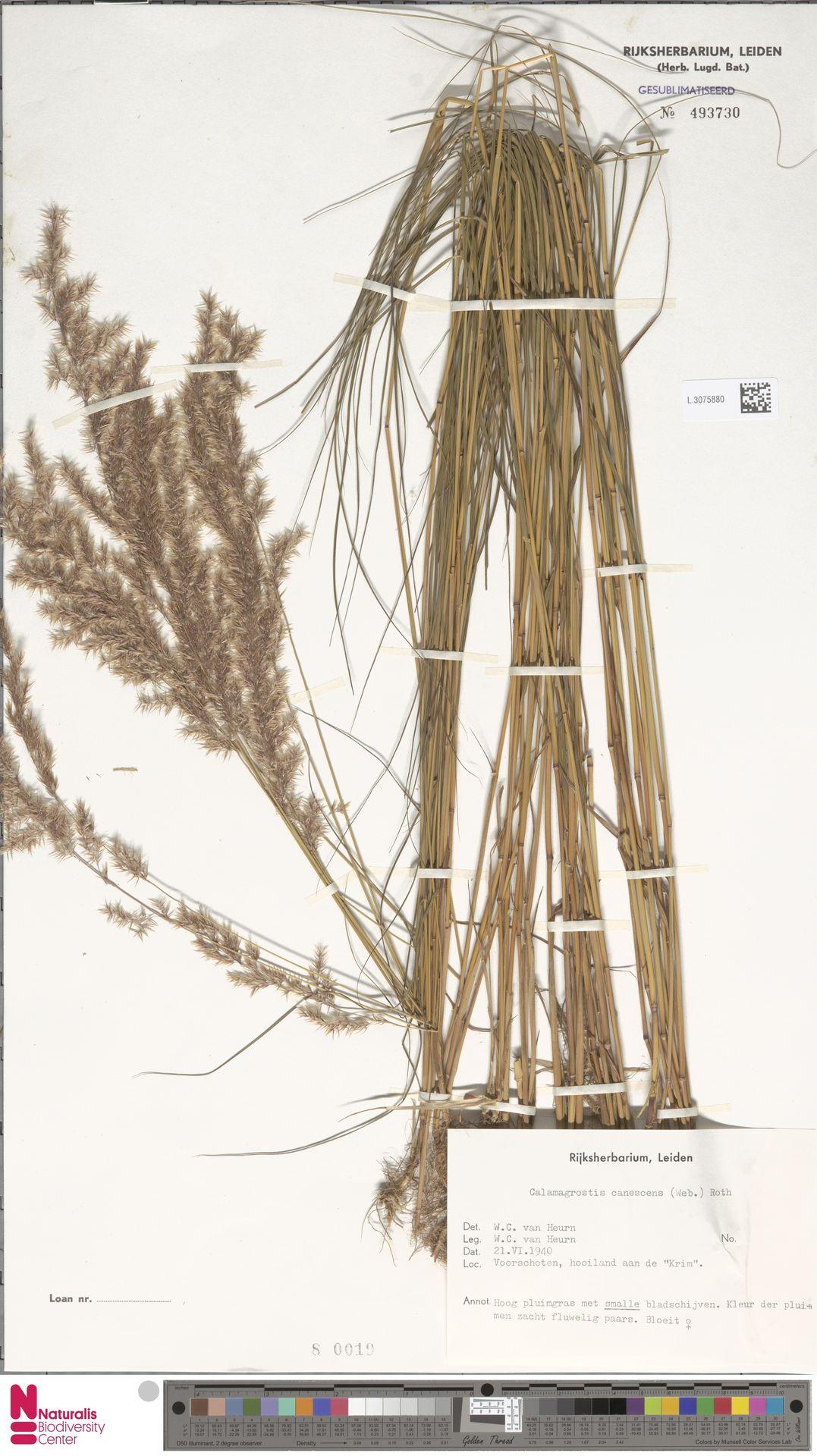 L.3075880 | Calamagrostis canescens (Weber) Roth