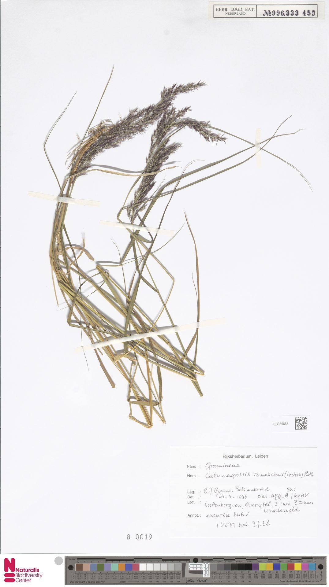 L.3075887   Calamagrostis canescens (Weber) Roth