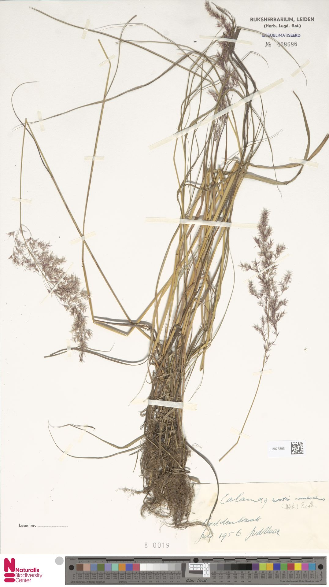 L.3075895 | Calamagrostis canescens (Weber) Roth
