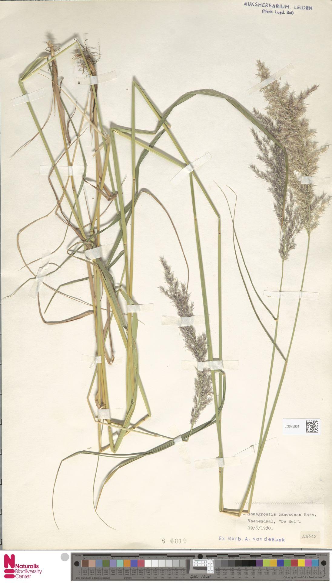L.3075901 | Calamagrostis canescens (Weber) Roth