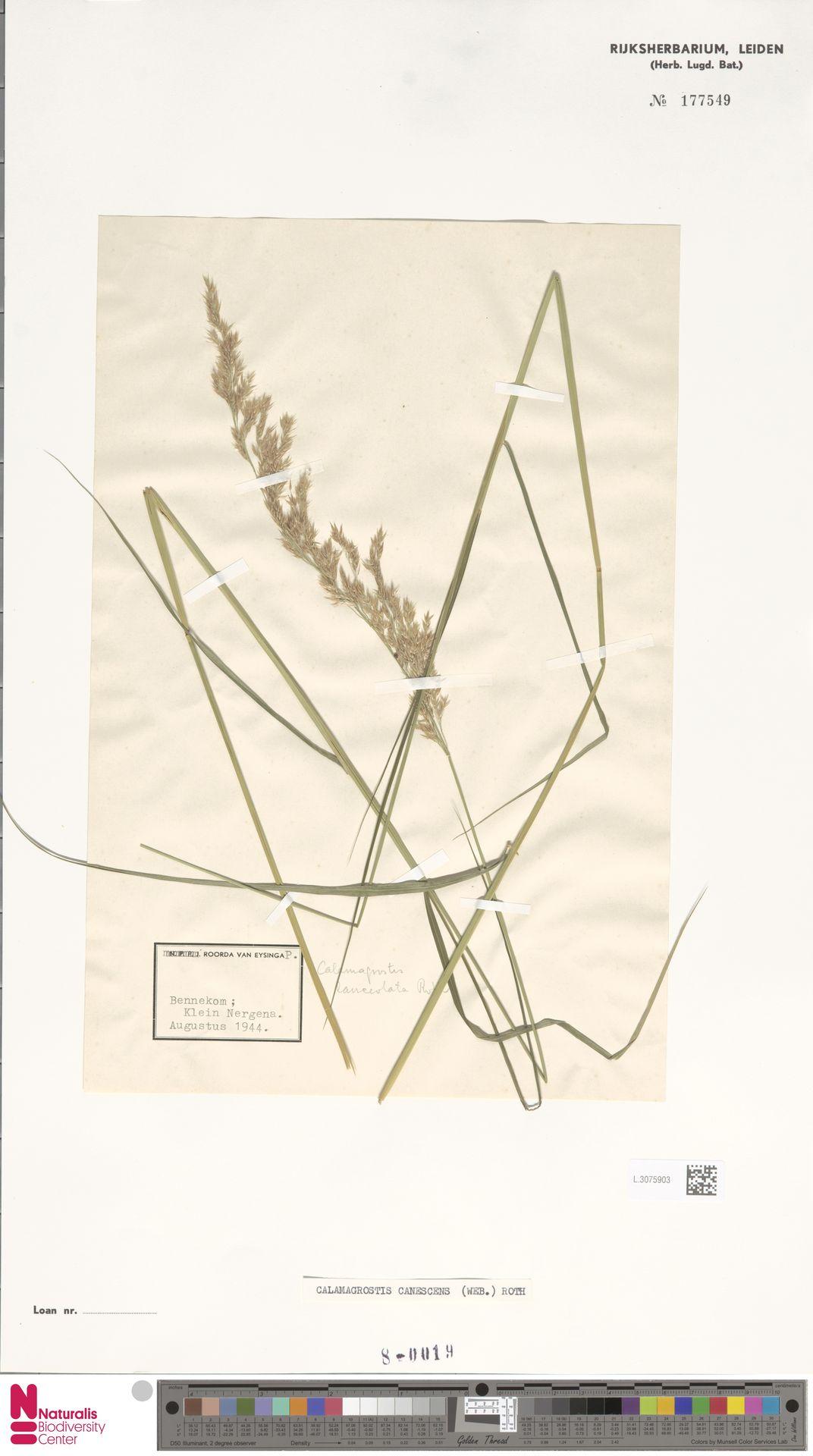 L.3075903 | Calamagrostis canescens (Weber) Roth