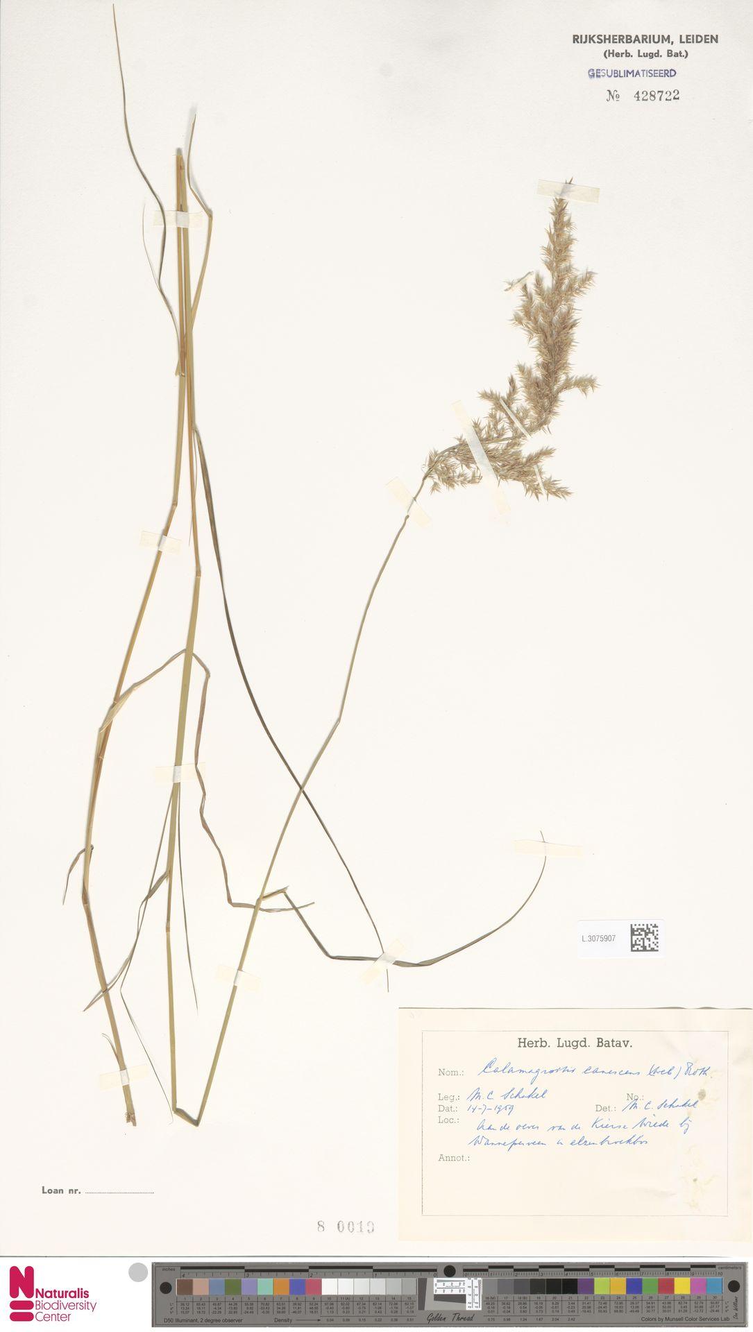 L.3075907 | Calamagrostis canescens (Weber) Roth