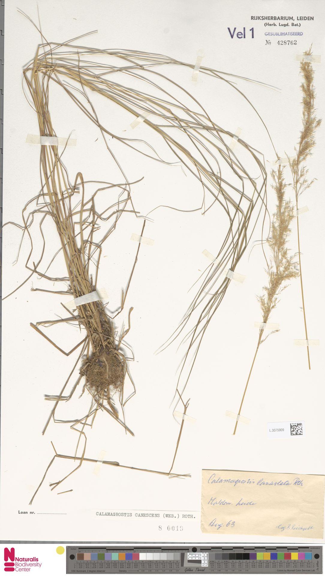 L.3075909 | Calamagrostis canescens (Weber) Roth