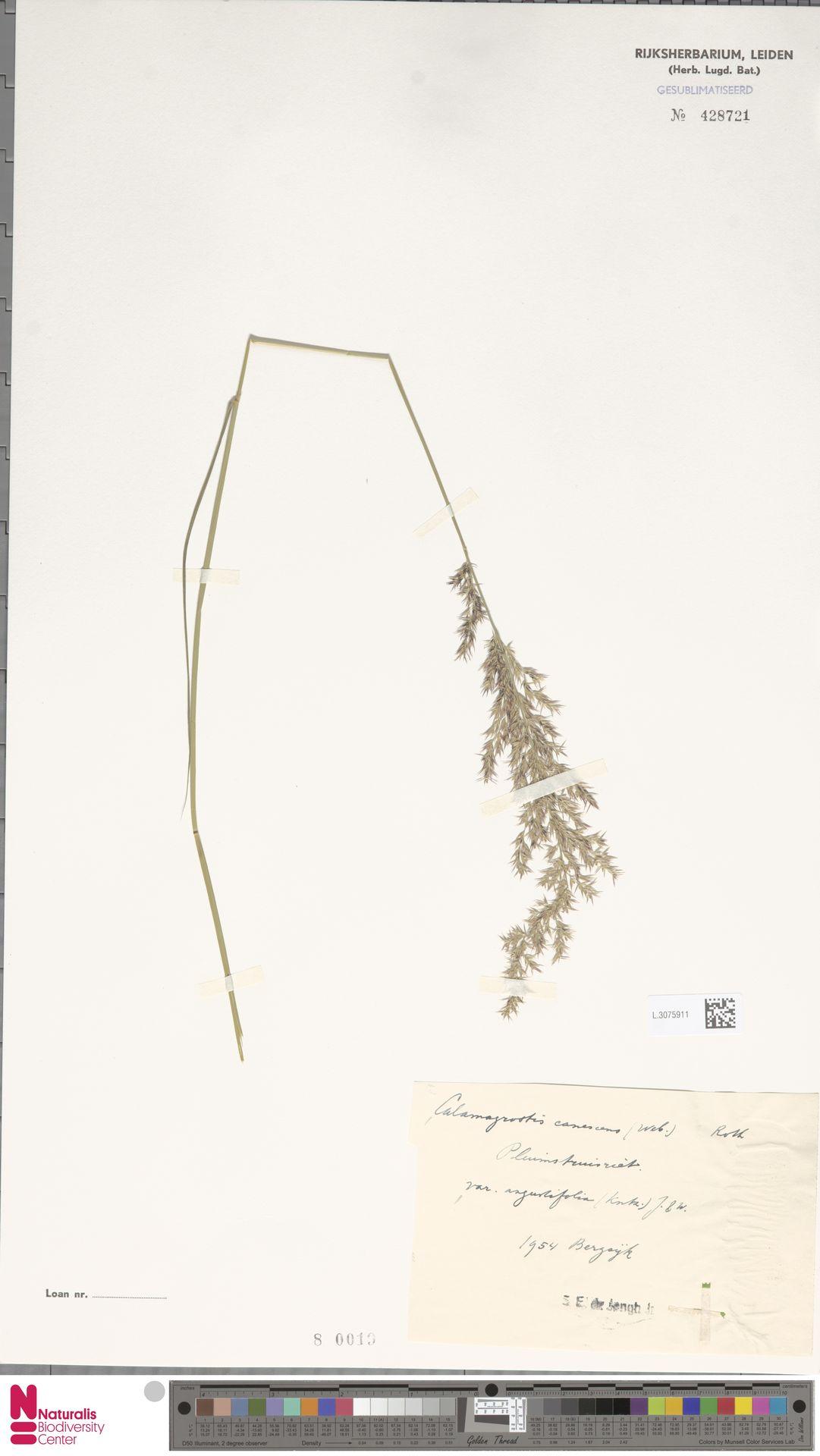 L.3075911   Calamagrostis canescens (Weber) Roth