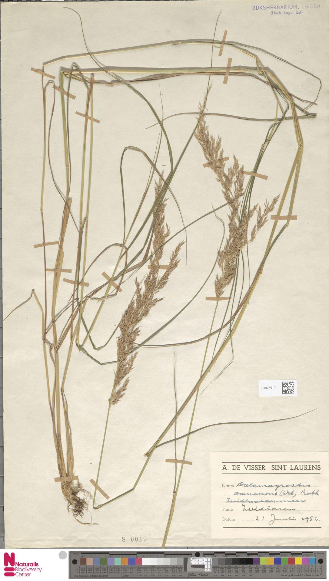 L.3075919 | Calamagrostis canescens (Weber) Roth