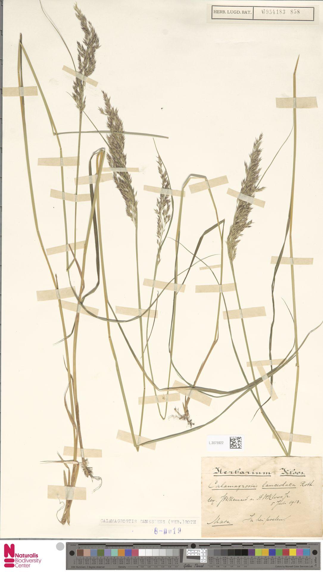 L.3075922 | Calamagrostis canescens (Weber) Roth