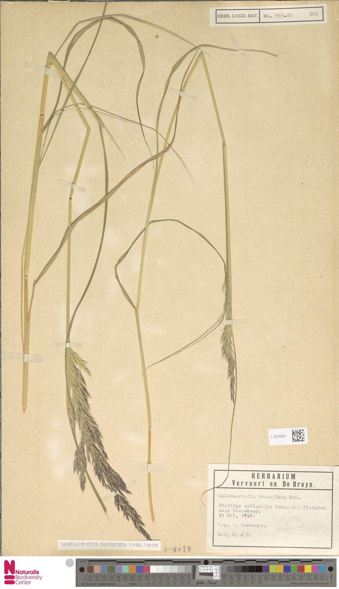 L.3075924 | Calamagrostis canescens (Weber) Roth