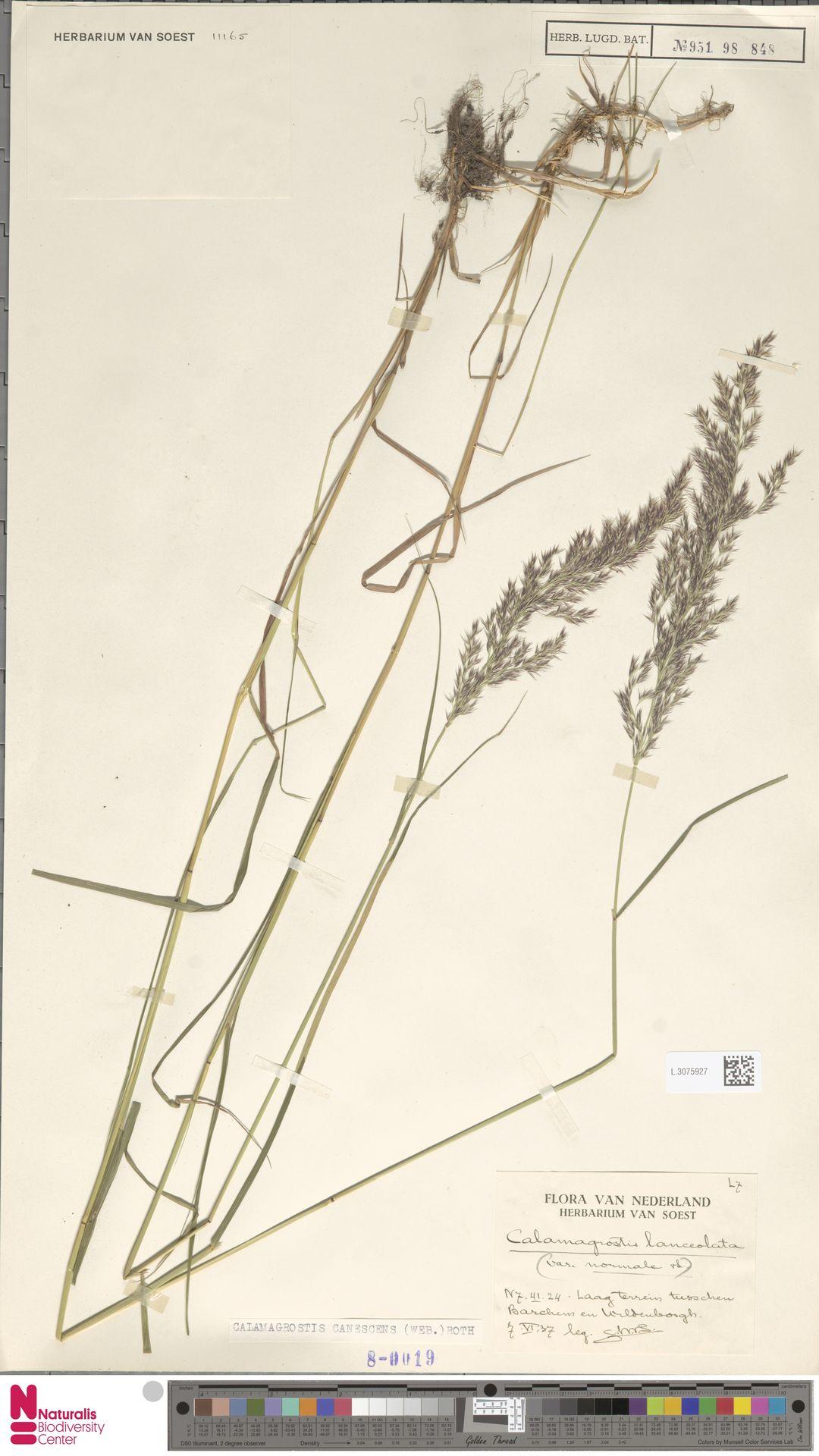L.3075927   Calamagrostis canescens (Weber) Roth