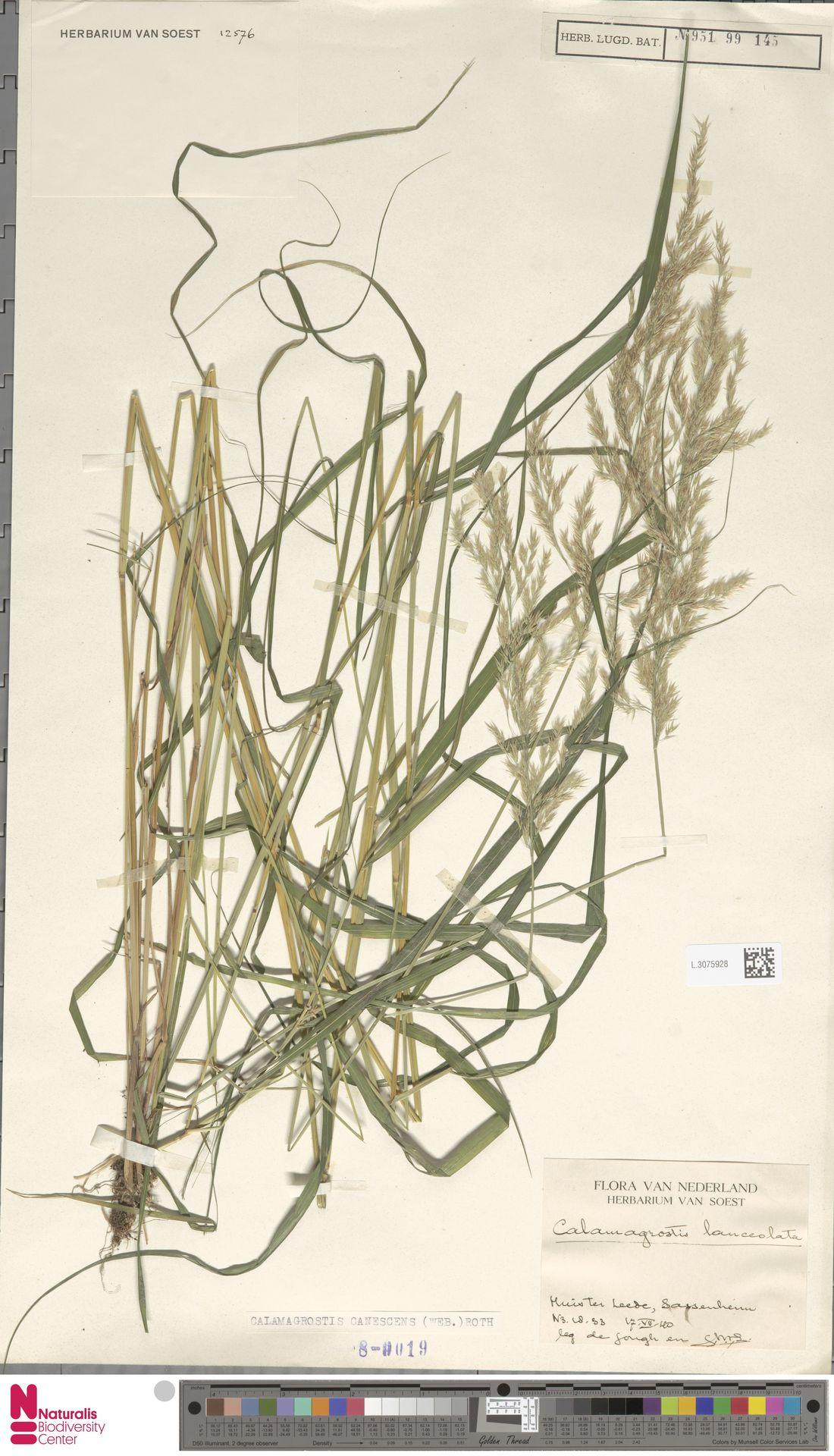 L.3075928 | Calamagrostis canescens (Weber) Roth