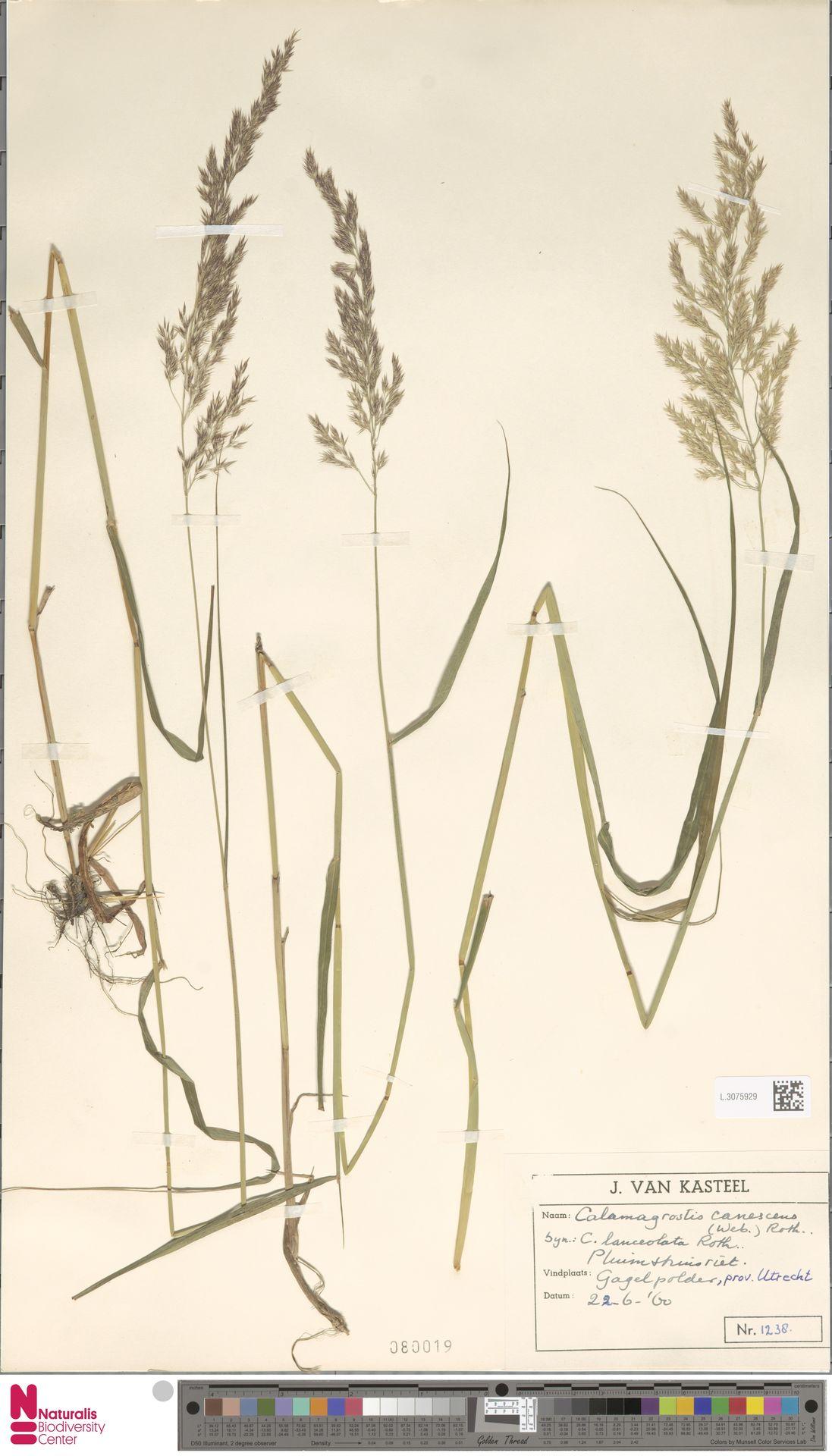 L.3075929 | Calamagrostis canescens (Weber) Roth