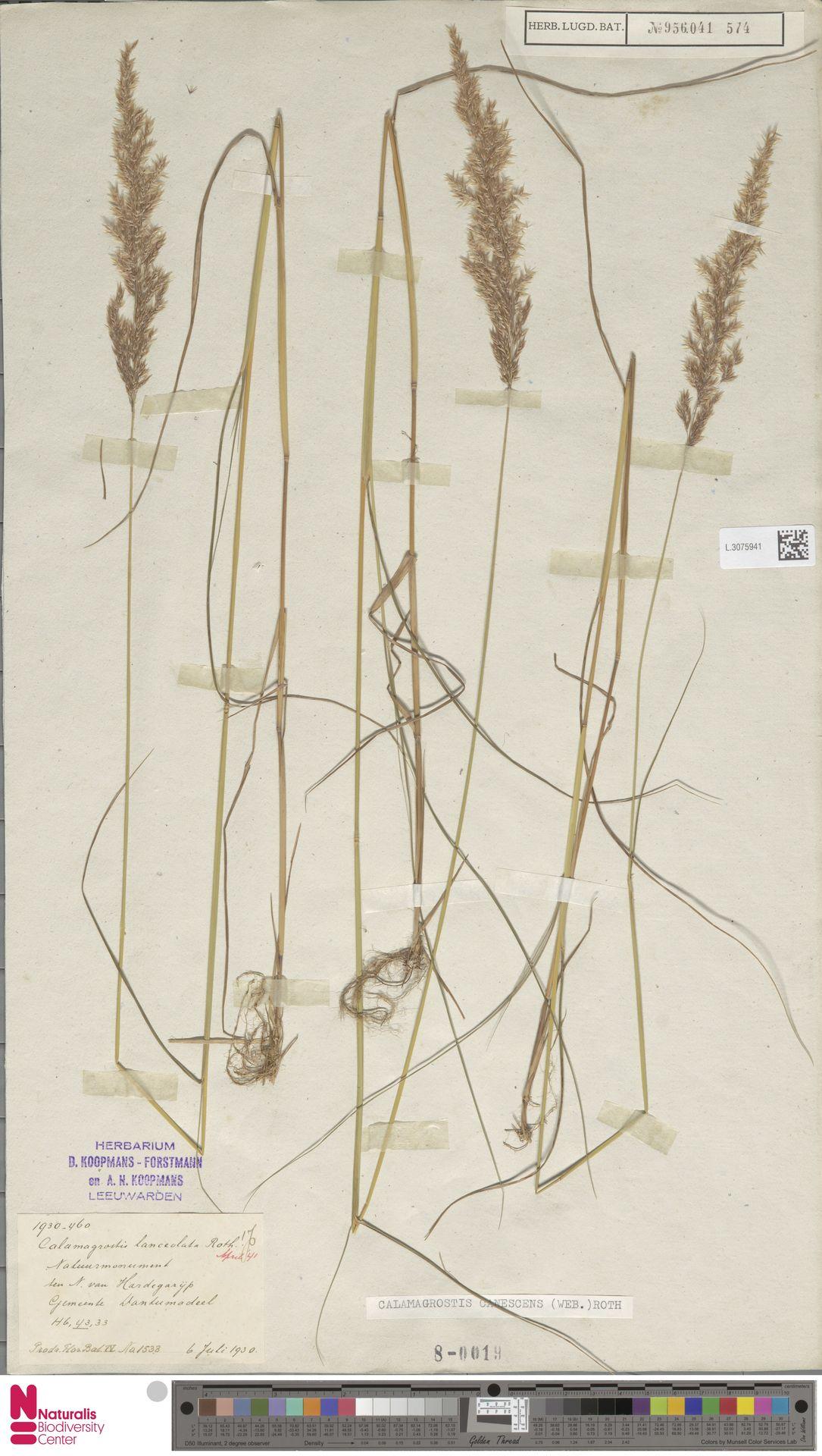 L.3075941 | Calamagrostis canescens (Weber) Roth