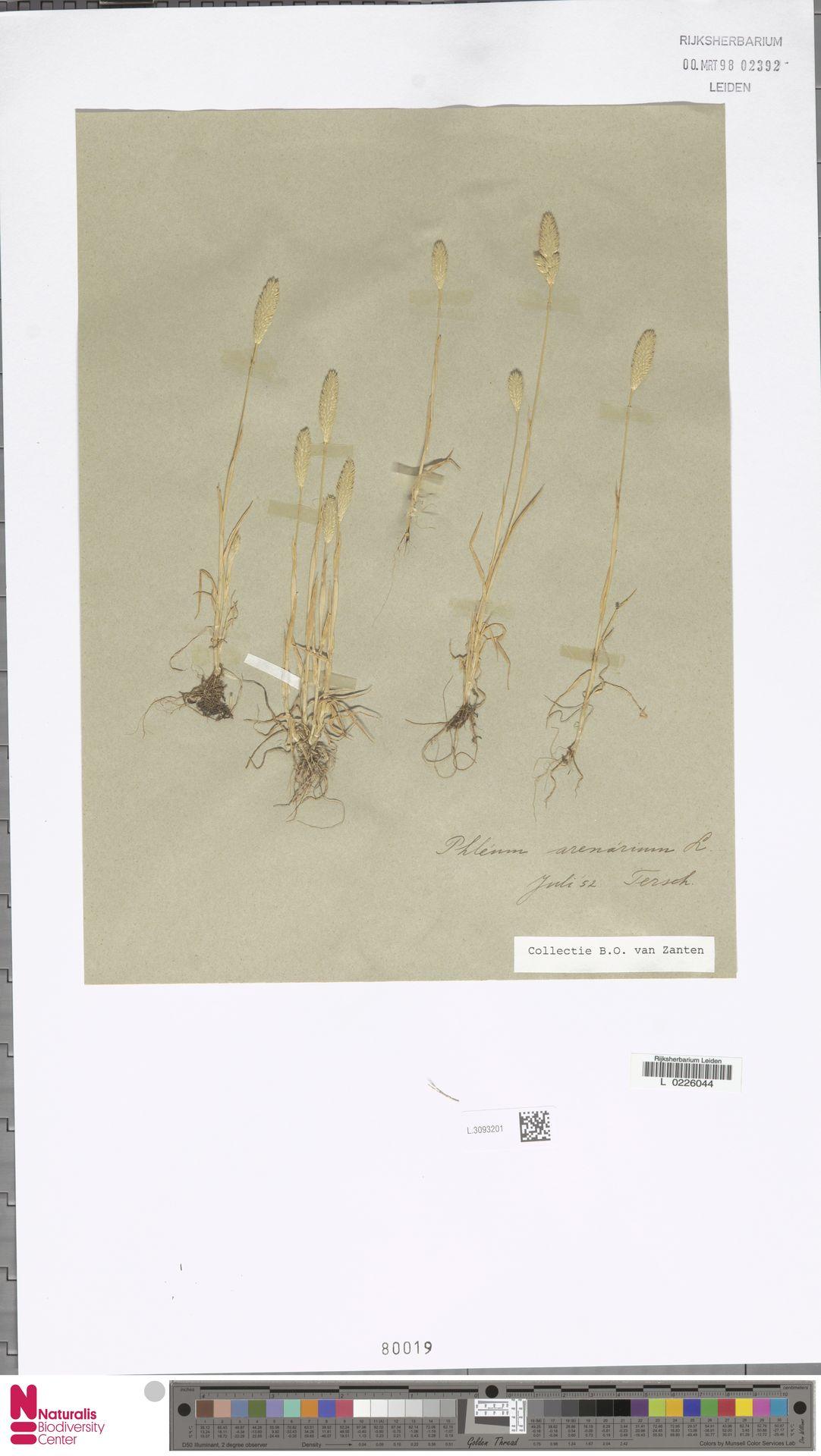 L.3093201   Phleum arenarium L.