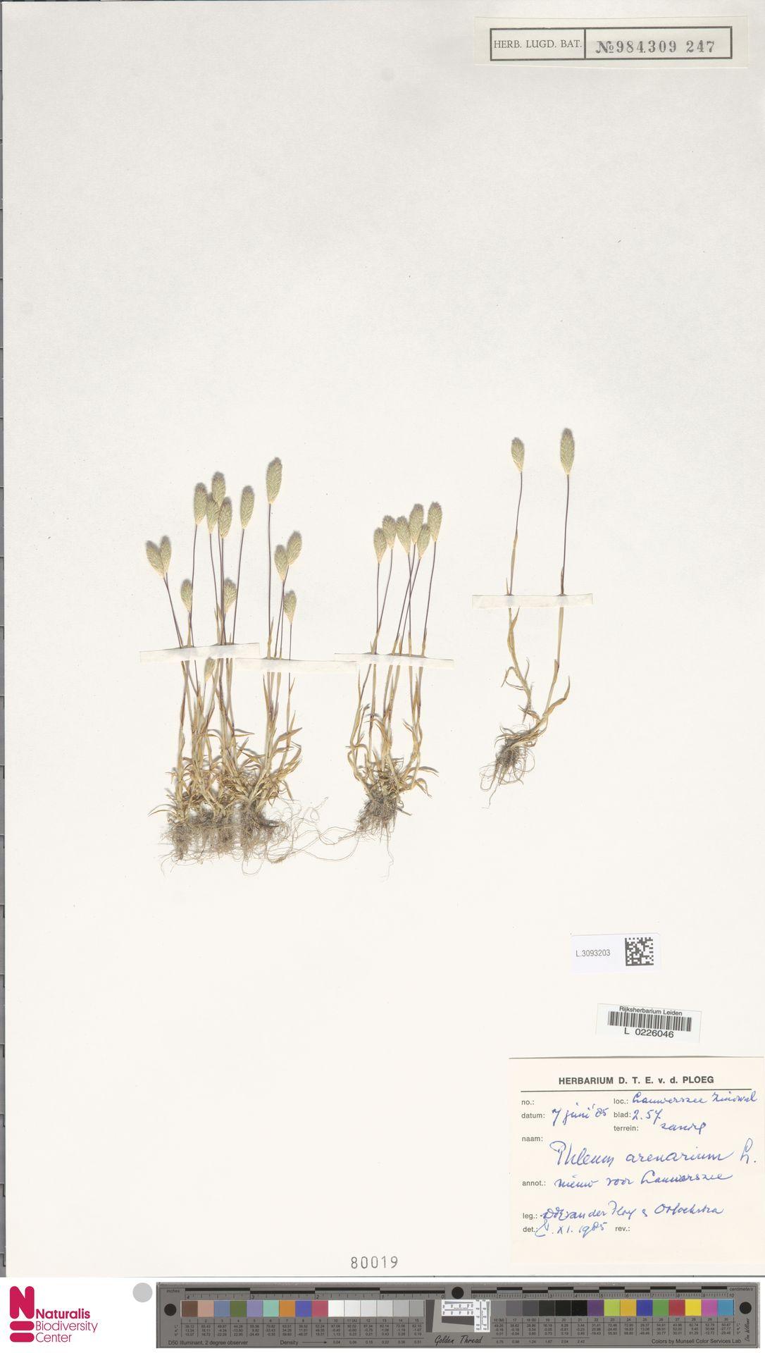 L.3093203 | Phleum arenarium L.