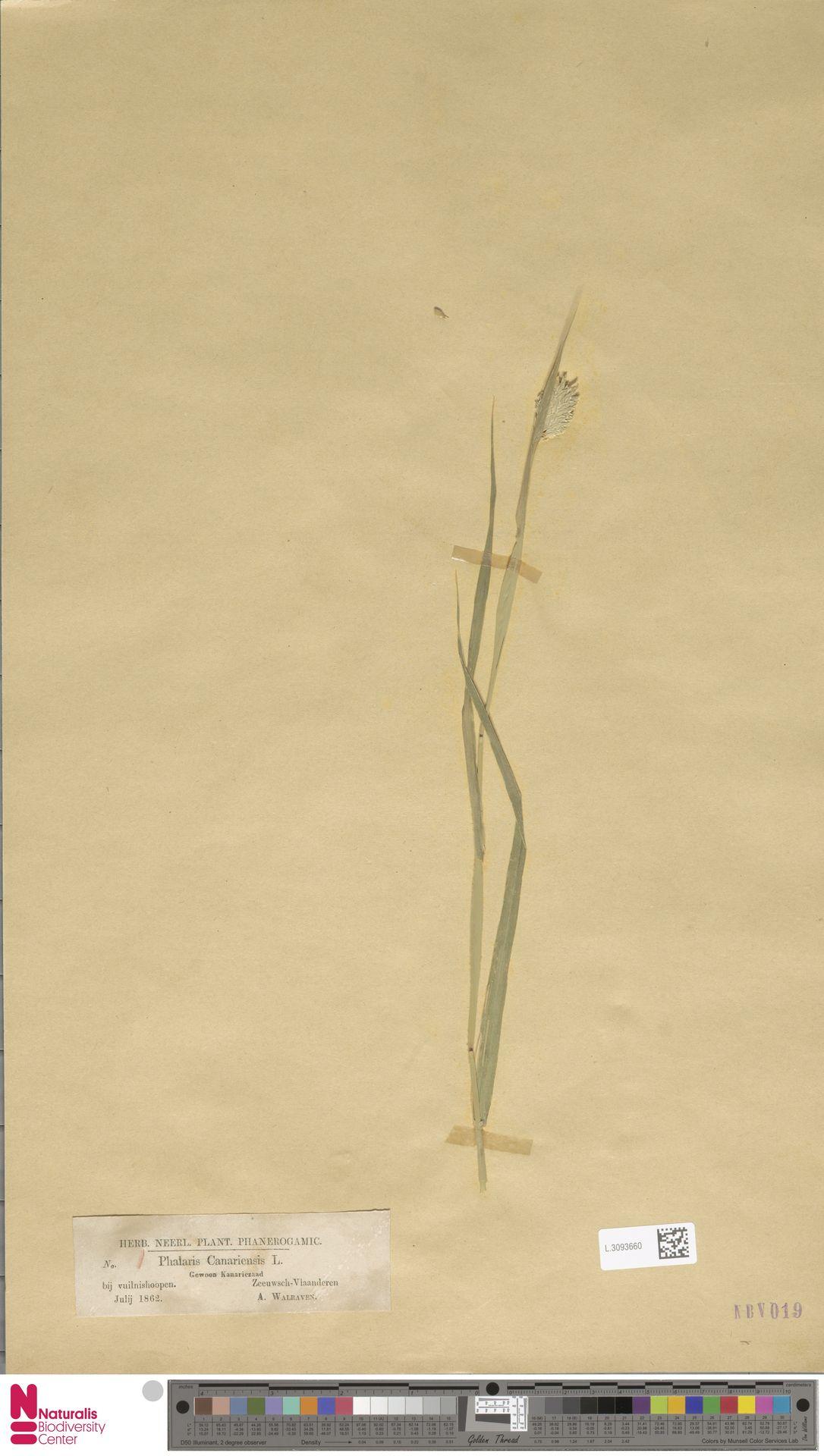 L.3093660 | Phalaris canariensis L.
