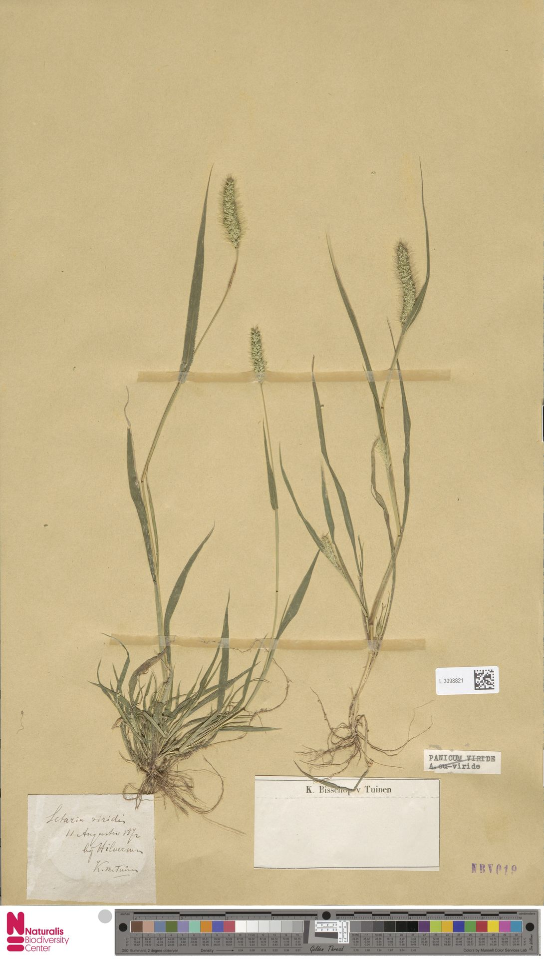 L.3098821   Setaria viridis (L.) P.Beauv.