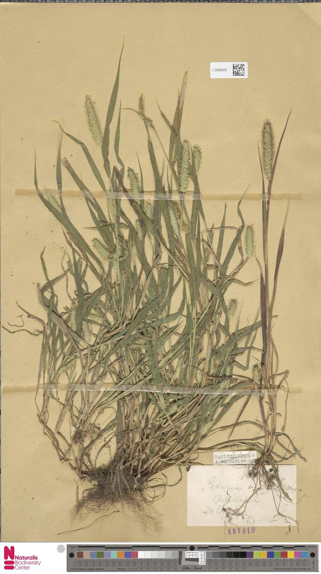 L.3098828 | Setaria viridis (L.) P.Beauv.