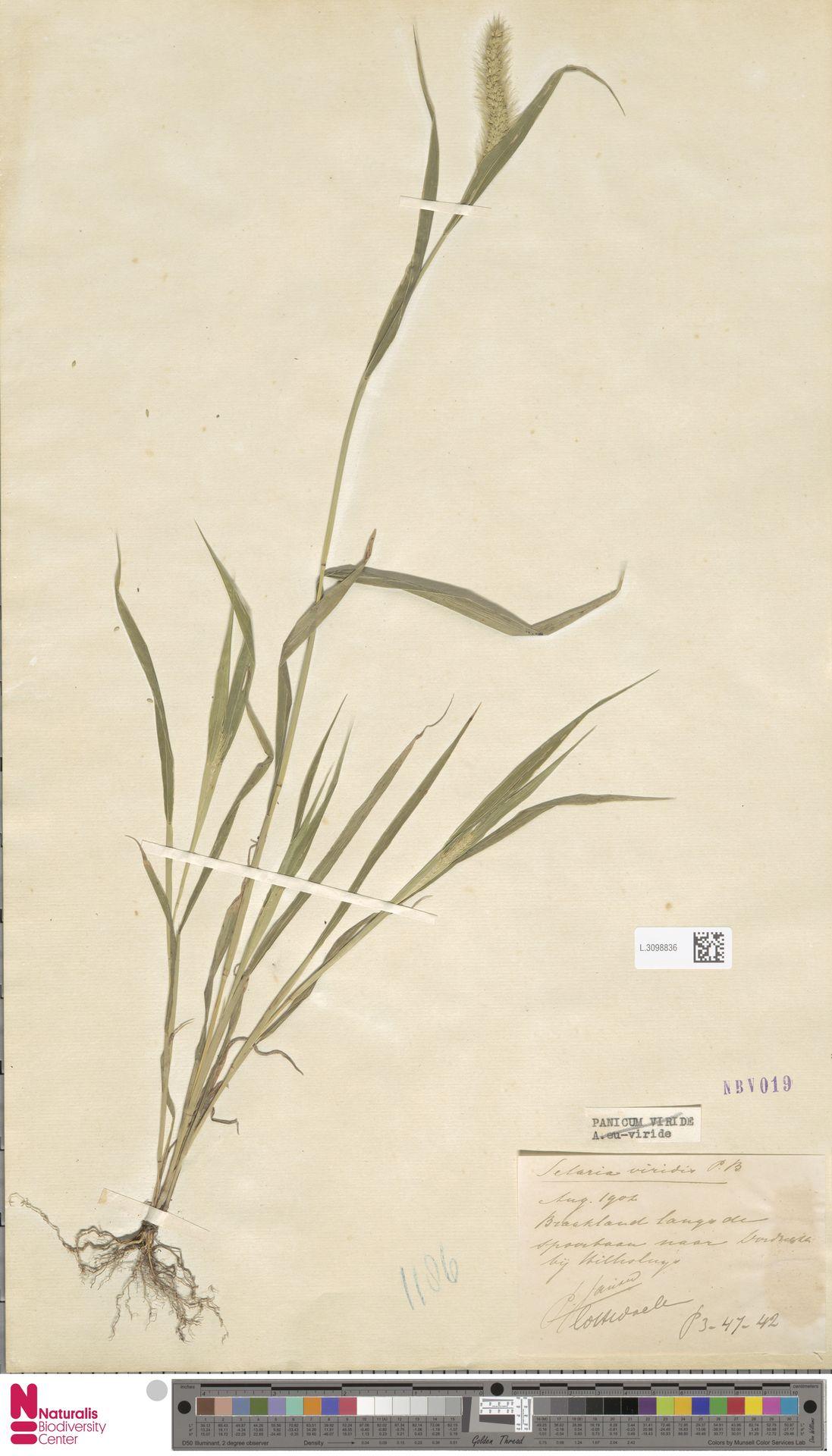 L.3098836 | Setaria viridis (L.) P.Beauv.