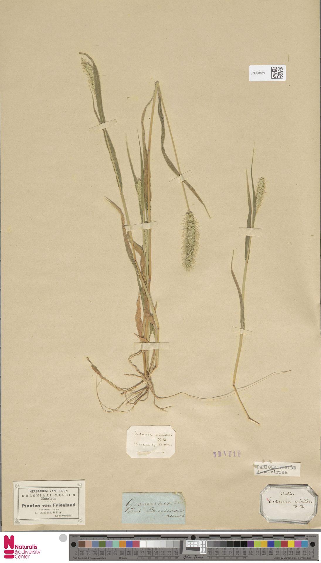 L.3098859   Setaria viridis (L.) P.Beauv.