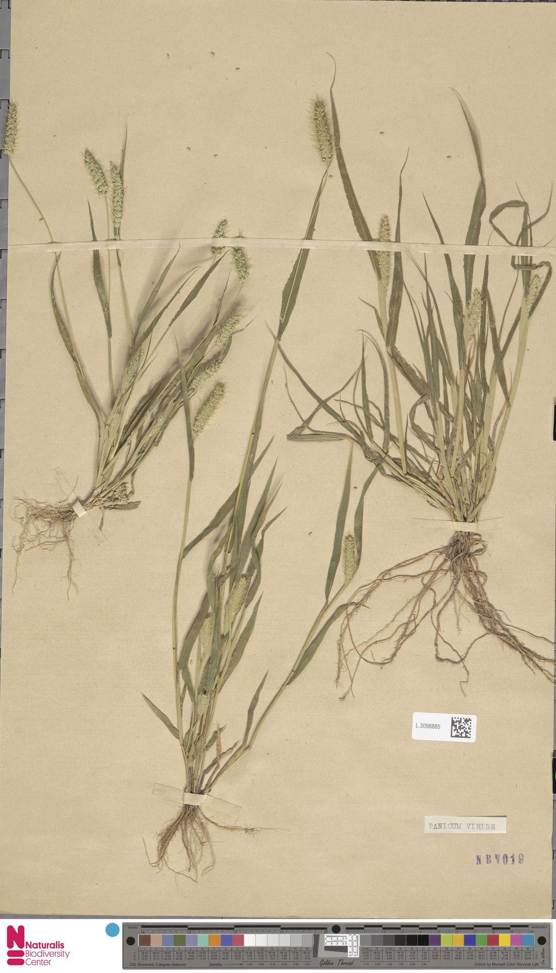 L.3098885 | Setaria viridis (L.) P.Beauv.