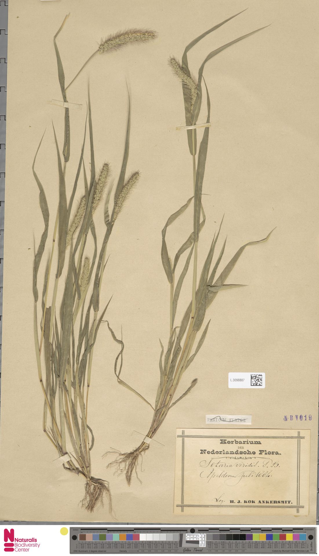 L.3098887 | Setaria viridis (L.) P.Beauv.