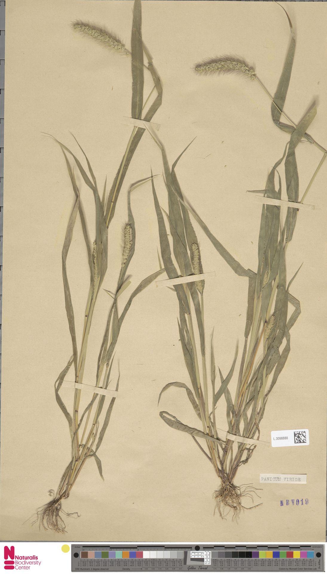 L.3098888 | Setaria viridis (L.) P.Beauv.