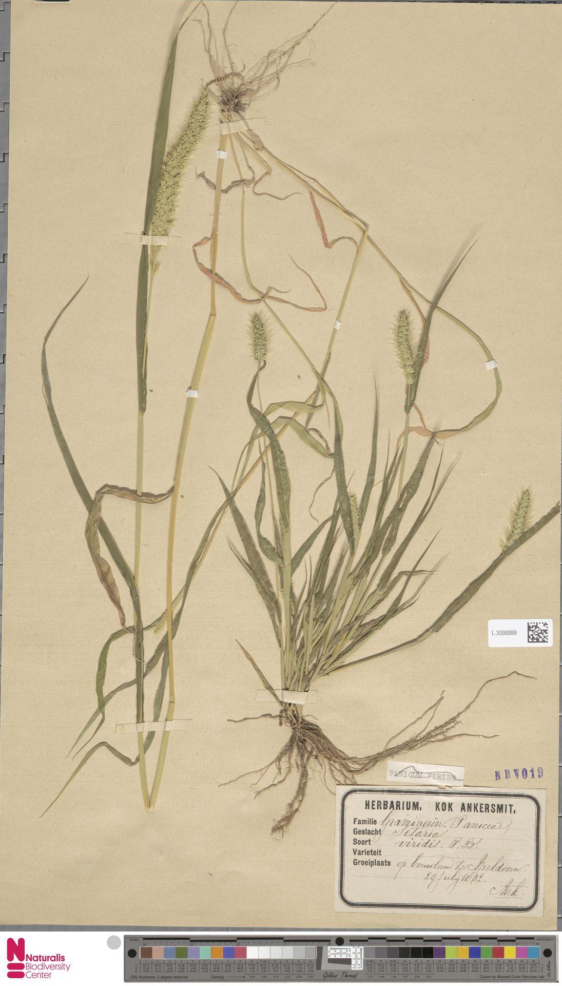 L.3098889 | Setaria viridis (L.) P.Beauv.