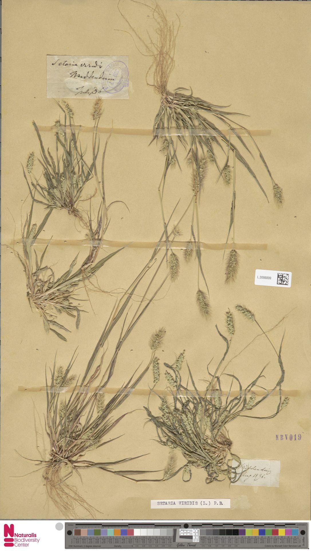 L.3098899   Setaria viridis (L.) P.Beauv.